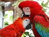 bird love. (Bruno Farias) Tags: red bird nature colombia parrot cartagena arara everrocks obrunofarias flickrandroidapp:filter=none