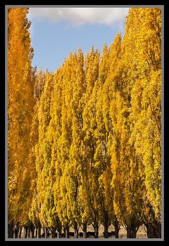 autumn leaves nsw poplartrees 2013