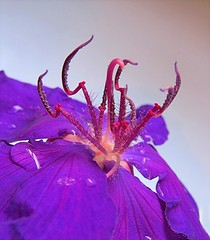 Purple People Eater (Mary Faith.) Tags: hairy flower macro nature purple alien raindrops unusual tibouchina blinkagain