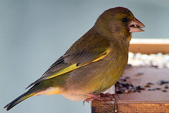 Verdilho (Jose Viana) Tags: bird portugal birding ave swarovski digiscoping birdwatching greenfinch carduelischloris canon50mm18 joseviana canon7d