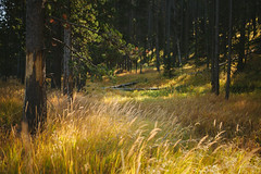 Yellowstone (BurlapZack) Tags: trees summer vacation tree field grass pine forest woods roadtrip pines yellowstonenationalpark yellowstone summertime wyoming grandtetons tallgrass familyvacation grandtetonnationalpark canoneos5dmarkii vscofilm canonef40mmf28stm