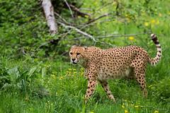 Gepard (CROW1973) Tags: salzburg canon eos zoo tiergarten gepard hellbrunn flickrbigcats 5dmkiii sigma120300mmf28apoexdgos
