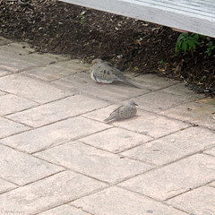 Mourning dove and chick (Coyoty) Tags: family brown bird animal fauna grey spring mourning connecticut pigeon dove gray mother ct courtyard chick mourningdove animalplanet farmington feathered zenaidamacroura tunxiscommunitycollege