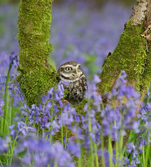 Little owl (Athene nocyua) (steven whitehead) Tags: flowers bluebells canon flying woods eagle display little snowy owl owls barnowl tawny longearedowl snowyowl longeared littleowl tawnyowl shortearedowl shorteared 2013 1dx
