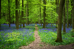Ashridge Estate (Nada*) Tags: uk flowers blue trees england tree green nature leaves bluebells forest wow season outdoors woods natural hiking path walk hike fresh growth vegetation flowering environment wald priroda baum ashridge umwelt inbloom baume ashridgeestate flooming