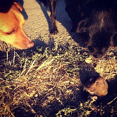 Brave Gopher (Ellen Soohoo) Tags: park dog pine square point hunting squareformat isabel 365 gophers iphone 2013 iphoneography instagramapp xproii uploaded:by=instagram searsha foursquare:venue=4ea9facb775bf085695fabec