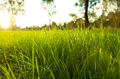 Lush Grass (Dandy Photos) Tags: park sunset summer sun sunlight white plant abstract macro green eye nature wet beautiful beauty field grass weather yellow closeup rural garden season landscape leaf spring flora perfect day natural bright image outdoor earth background low lawn grow meadow sunny ground scene fresh clean clear growth level land environment crops lush agriculture herb