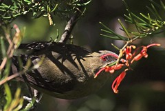 "Bellbird feeding from grevillea Anthornis melanura • <a style=""font-size:0.8em;"" href=""https://www.flickr.com/photos/50136865@N00/15197526264/"" target=""_blank"">View on Flickr</a>"