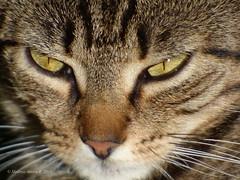 Cat eyes (close up) (A. Meli) Tags: cat animal llat livingbeing lebewesen tiere macska cica katze llatok nose dienase katzennase macskaorr cicaorr cicaszem macskaszem cateyes nature nyr szabadban summer sommer outdoor drausen dienatur termszet juli july jlius ngc