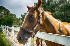 The Horse Awaits (Sonia'sGallery) Tags: bysoniaa farm flickr flickrsoniasgallery flickrsoniaargenio green mwf meadowwoodfarms ocala ocalafl soniaargenio trees white clouds fence filly florida grass harness horses red sky thoroughbred threeboardfence