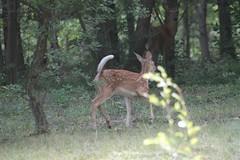 IMG_9286 (thinktank8326) Tags: deer whitetaileddeer fawn doe babyanimal babydeer nature wildlife