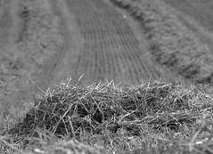 17.08.2016 - abgeerntet - (HORB-52) Tags: berndsontheimer badenwrttemberg blackforest landwirtschaft getreide acker