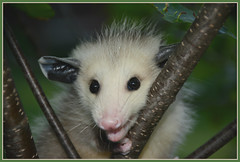"""Hey..you lookin' at me, eh ?!"" (Wolverine09J ~ 1 Million + Views) Tags: pinespringspossums16 opossum juvenile marsupial wildlife minnesota closeup nature foliage fauna mammal summer level1allnaturesparadise thelooklevel2yellow thelooklevel4purple preciouslivingjewelsofnature naturescreations blinkagain thelooklevel5green asbeautifulasyouwant"