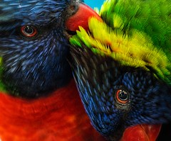 Sometimes the smallest things are the most beautiful.  - Lorikeets (Ronald_Nelson_Photography) Tags: sixflagsdiscoverykingdom california vallejo unitedstates lorikeets bird amusementpark
