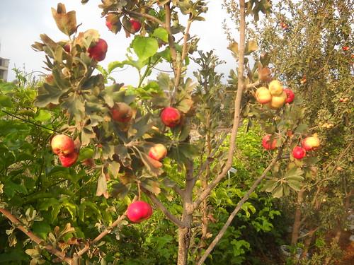 Zaarour Mayhow Berry Fruits Aug 7, 2016 (9)