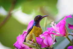 _D4S2675.jpg (Light Machinery) Tags: brownthroatedsunbird sunbird