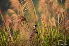Blowing with the wind (Sumarie Slabber) Tags: bird birding birdwatching grass philippines botanical sumarieslabber outdoor nature nikond750 morning landscape animal