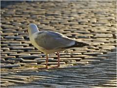 Cobblestone Infinity (tanglemay) Tags: cobblestone seagull eveningsun
