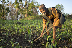 Farmer Dilaram Chalise weeds his maize in Bayalkanija, Surkhet. (CIMMYT) Tags: nepal csisa cimmyt maize agriculture smallholder farmer mechanization asia