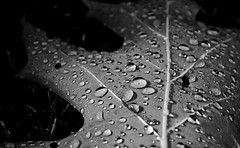 Raindrops (mswan777) Tags: leaf rain weather drops wet nature macro close up bw tree forest michigan nikon d5100 nikkor 1855mm scenic detail pattern texture