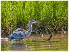 Ruffled Feathers (jiroseM43) Tags: heron nature creek water panasonic gh3 100300mm lumix