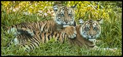 Tiger Cubs (KRIV Photos) Tags: sandiego sandiegozoo tiger sumatrantiger