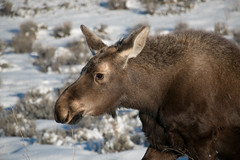 Young Moose (GrandTetonNPS) Tags: grandteton nationalpark