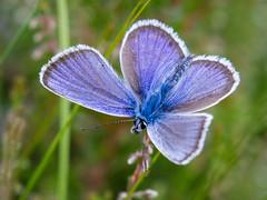 Blue Boy No. 2 [Explored 2016-09-16] - Blaumann Nr. 2 (Uli) (Uli-Joe) Tags: butterfly canonef100400mmf4556lisiiusm canoneos7d ellisee idasblue macro male nahaufnahme plebeiusidas sandtrockenrasenachim schmetterling wildlebendestier wildlifeanimal closeup ginsterbluling mnnchen
