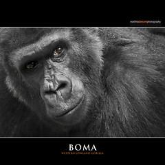 BOMA (Matthias Besant) Tags: affe affen affenblick affenfell animal animals ape apes fell hominidae hominoidea mammal mammals menschenaffen menschenartig menschenartige monkey monkeys primat primaten saeugetier saeugetiere tier tiere trockennasenaffe primates querformat gorilla zoo zookrefeld matthiasbesant boma deutschland