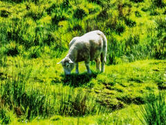 Sweet Green Grass (Steve Taylor (Photography)) Tags: grass hill sheep littleriver animal digital black green white sunny sunshine newzealand nz southisland canterbury bankspeninsula