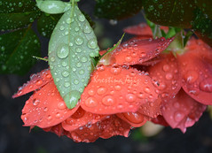flower & leaf (azizkres) Tags: flower leaf rain drop raindrop water orange salmon green nature portland parkblocks outdoors lookingdown closeup aziz krestina