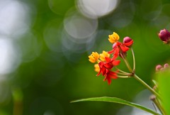 Tropical Milkweed! (ineedathis, Everyday I get up, it's a great day!) Tags: tropicalmilkweed scarletmilkweed milkweed perennial plant butterflymilkweed asclepiascurassavica hbw butterflygarden nikond750 sunset sunlight bokeh macro flower