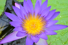 Water Lily (Sandra Kirly Pictures) Tags: hungary budapest botanicalgarden waterlily flower outdoor nature fvszkert