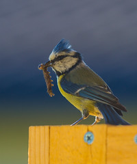 Blue titmouse (guneng) Tags: blue titmouse blmeis fugl larve bird