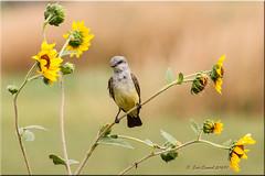 'wild' (d-lilly) Tags: wildflowers westernkingbird yolowilidlifearea2014