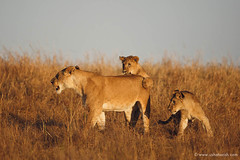 African lions playing (Usha Harish) Tags: masaimara wildlife wildlifesafari wildlifephotography animals africa africansafari savannah africansavannah africageographic kenya travelkenya kenyasafari canon5dmarkiii canon500mmisii bigcat bigcats predator