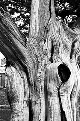 Tree, Dunham Massey (MCorrigan1983) Tags: jch400 streetpan 2016 bw dunhammassey jchstreepan400 nikkor50mmf14ais nikonfe2
