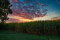 Cornfield Morning (TheEvillOnes) Tags: agriculture beautiful beauty blue bright corn crop cultivated day environment farm field food grass green growth horizon land landscape leaf meadow nature organic outdoors plant season seed sky spring stem summer sun sunlight sunset wheat yellow agricultural background cereal cloud color farmland grain grow growing harvest rural scene sunny sunrise