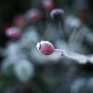 frosted Rosa canina fruit