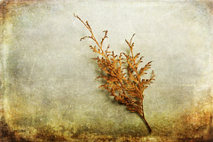 Faded Thuja (GracefulFoto) Tags: simplicity textures fall autumn death dying brown thuja faded green nature tree branch background color clear fresh fir freshness copy eco environment environmental healthy space pine system twig nobody hike hedge clean lifestyle needle natural health detail cupressaceae frost coniferous closeup conifer wave vintage beauty beautiful occidentalis season retro