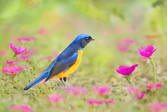 Blue Elf  (Fu-yi) Tags: taiwan   formosan     yehliugeopark newtaipei animal bird plant nature brightness single lonely isolated male dreamy    bloom blossom flower park predator winter songbird bicolor blue closeup macro standing migratory yellow boy field wilderness ground cute conservation educational asia