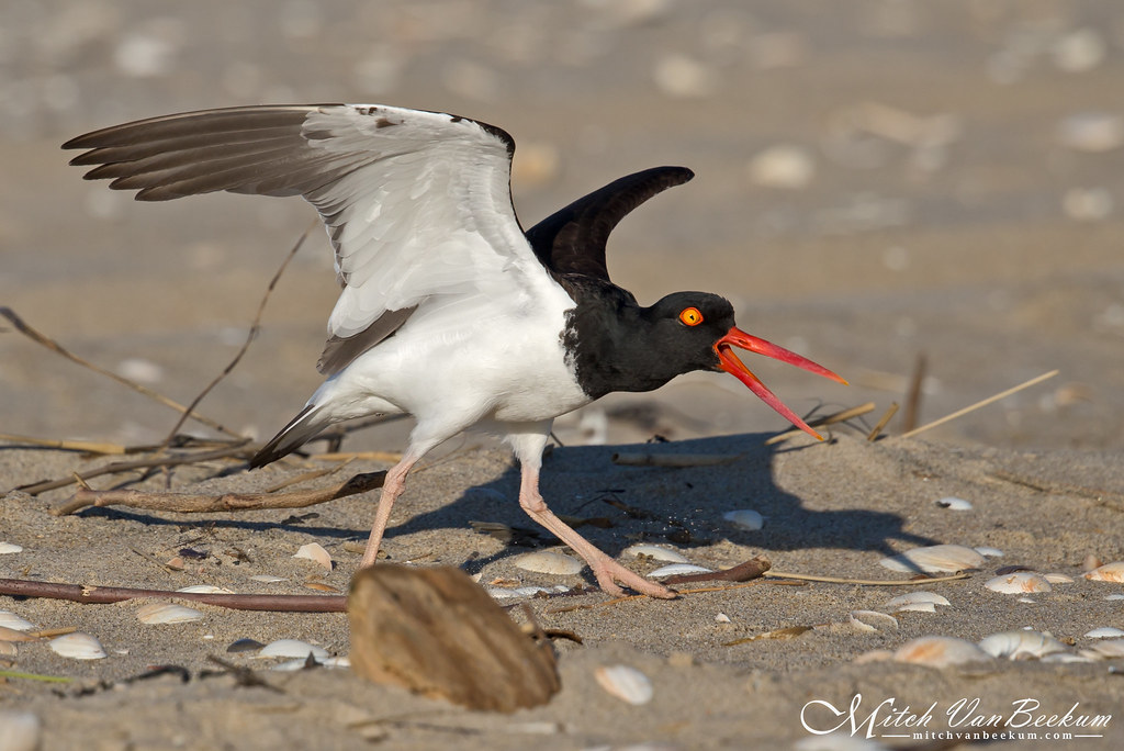 Ready To Snap! (Oystercatcher) - Explored