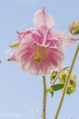 Columbine - Aquilegia (Rom4rio Photography) Tags: nikon nikond3100 nikkor natura nature columbineaquilegia flower fioritura fiore floare allaperto outdoor color cielo sky amatore d3100