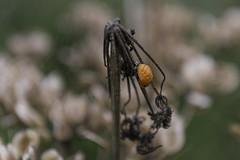 The birth of a Ladybug - 2 (Nederland in foto's) Tags: nederlandinfotos nederland netherlands nikon dordrecht biesbosch paulvandevelde pdvandevelde padagudaloma outdoorphotography outdoor natuurfotografie nature naturephotographer ladybug lieveheersbeestje zaadjes seeds schermbloem
