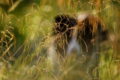39/52 Lost in the Grass (JJFET) Tags: 3952 weeks for dogs mist border collie