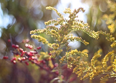 September Light (Cam Miller 2016) Tags: september bokeh goldenrod berries backlight