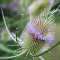 "For Macro Mondays - ""Handle with care"" (nathaliedunaigre) Tags: fleur flower chardon macro carr square dtails details pastel"