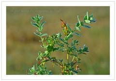 the first morning dew (friedrichfrank1966) Tags: morning dew tau outdoor bokeh plants pflanzen morgen rahmen tropfen drops spiders web sonnenaufgang spinnennetz