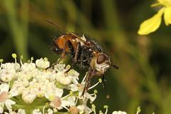 Tachina fera (Tachinid Fly) - Guernsey (Nick Dean1) Tags: tachinidae diptera fly animalia arthropoda arthropod hexapoda hexapod insect insecta guernsey channelislands greatbritain canon7d canon macro tachinafera