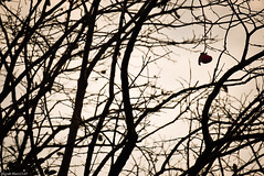 / persimmon (March Hare1145) Tags: persimmon  tree   silhouette